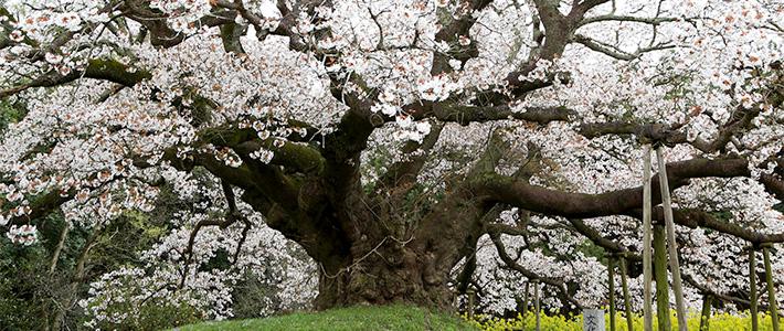 Árbol oriental en flor
